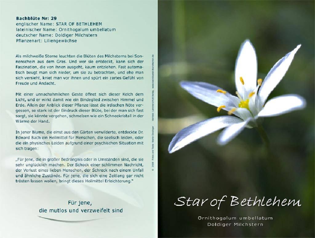 Bachblüten - Star of Bethlehem